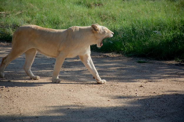 晴れた日に芝生のフィールドの近くを歩いて叫んでいるライオンのショットを閉じる