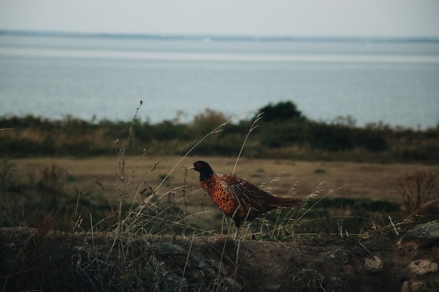 Close shot of a ring-necked pheasant standing in a field with a blurred sea