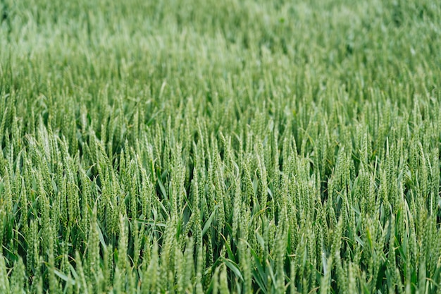 Close shot of a sweetgrass field with a blurred