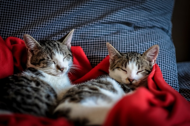 Close shot of two cute cats sleeping in a red blanket