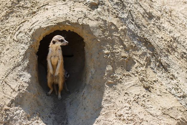 Meerkat은 뒷다리에 서서 닫습니다.