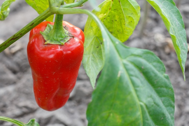 Крупным планом - болгарский перец, растущий на кусте в саду. болгарский или сладкий перец. малая глубина резкости