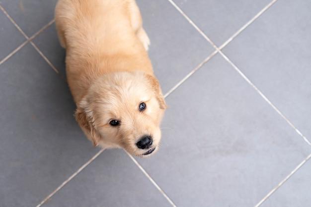근접 올려 바닥에 귀여운 골든 리트리버 강아지 강아지.