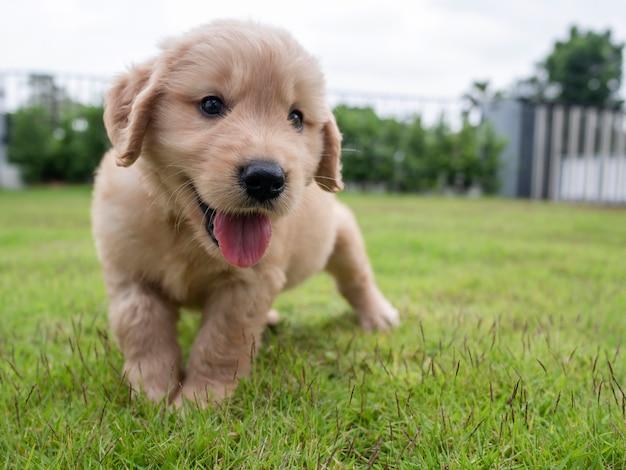 庭の芝生の上を走り、外を見ているかわいい子犬をクローズアップ。家の前の牧草地を歩いている素敵なゴールデンレトリバー犬。