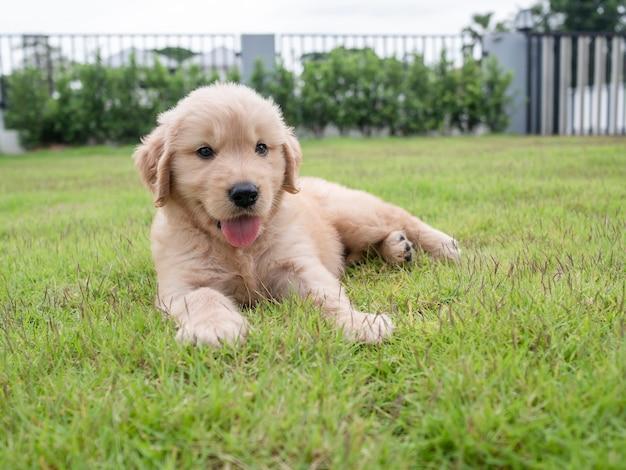 クローズアップかわいい子犬が庭の芝生の上で眠り、外を見ています。家の前の牧草地にいる素敵なゴールデンレトリバー犬
