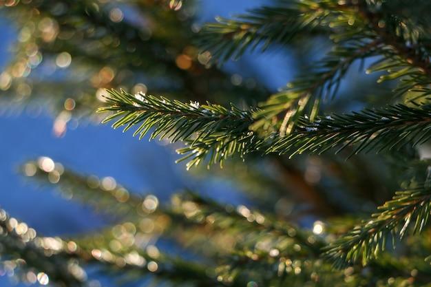 晴れた冬の日にモミの枝を閉じる