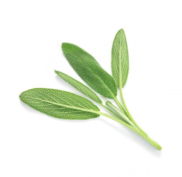 Закройте вверх по зеленому листу шалфея на белой предпосылке