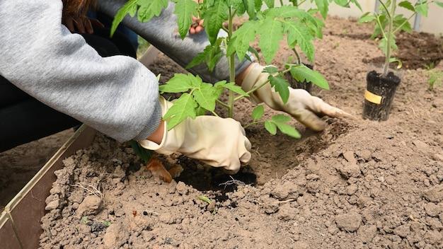 クローズアップ、女の子が温室に苗を植えます。