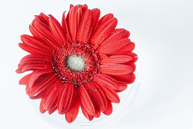 水と花瓶の白い背景の上の1つの赤いデイジーガーベラの要約をクローズアップ