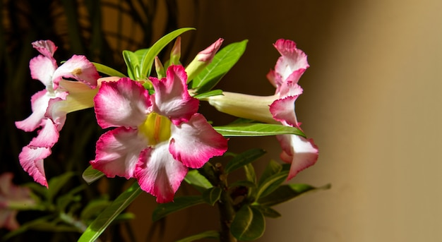 Close up adenium flower