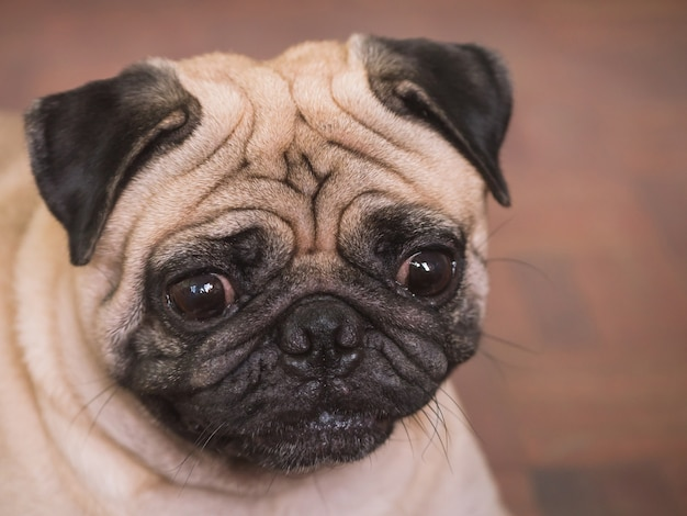 Close up of adorable pug dog, 3 year old.