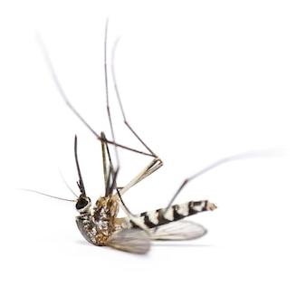 ヒトスジシマカ、stegomyia albopicta、タイガーモスキート、フォレストモスキート、白い背景で分離された1つの死んだ蚊、昆虫キャリアマラリア、デング熱、ジカ、チクングニア熱としてクローズアップ