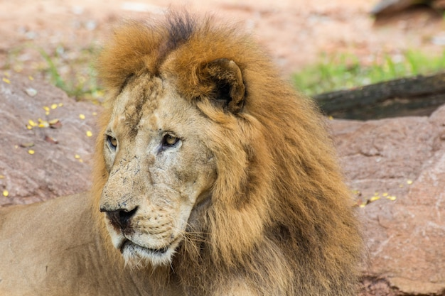 Close up african lion staring in nature