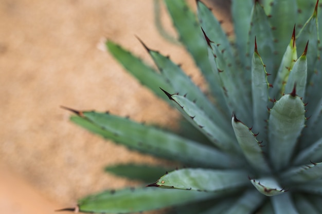 Close-up of agave (asparagaceae) cactus foliage in tropical garden