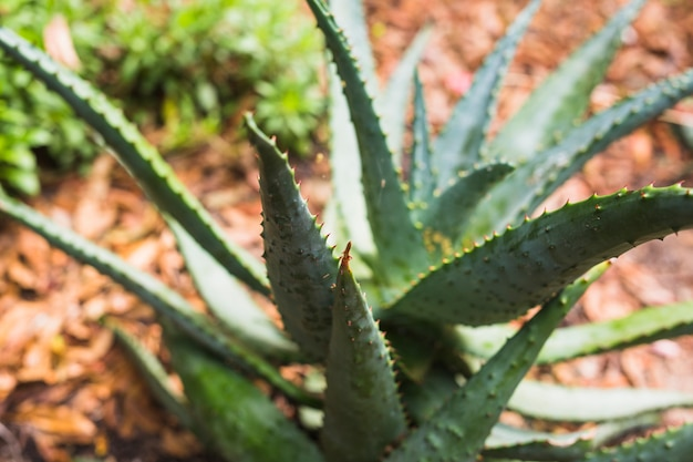 Close-up of agave cactus plant