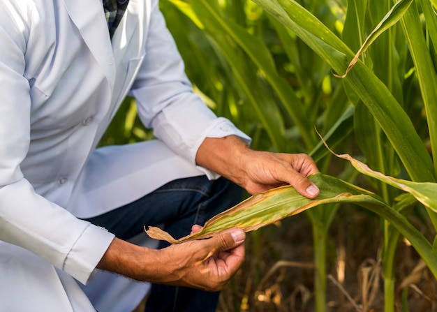 Close up agronomist inspecting a maize leaf