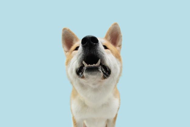 Собака акита крупным планом, глядя вверх, прося еды. изолированные на голубой пастельной поверхности