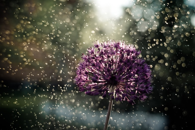 Close up of an alium gigantium flower head structure with water drops