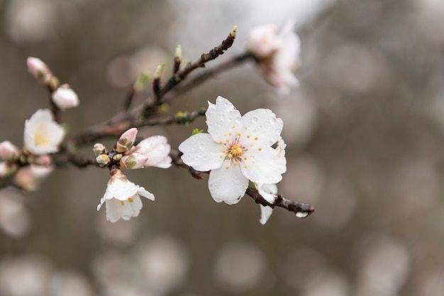Close-up of almond blossom with water drops