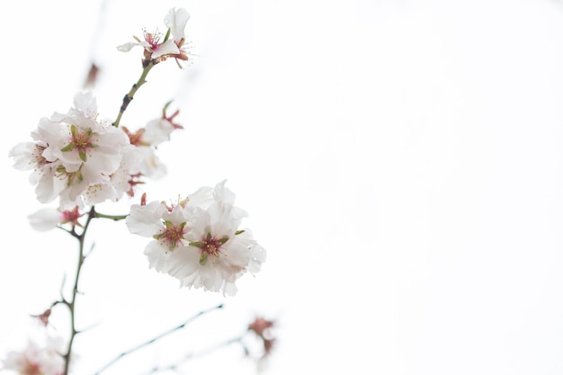 Close-up of almond blossoms