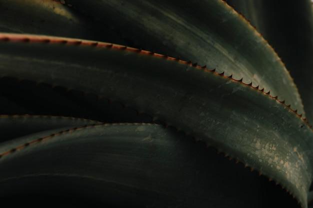 Primo piano di una pianta di aloe vera
