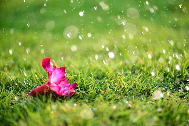 Close up alone pink flower with heavy raining on green grass field