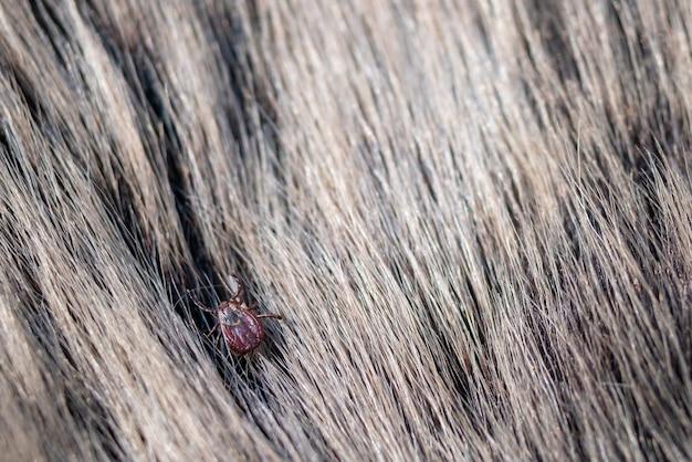 Close up of american dog tick crawling animal fur.