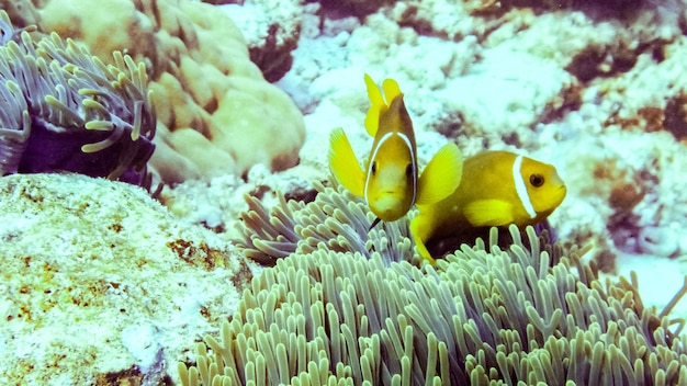 Close up of anemone fish in eilat, israel.
