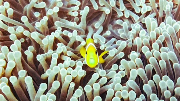 Close up of anemone fish in the maldives.