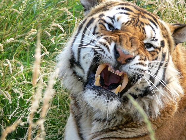 A close up of an angry tiger