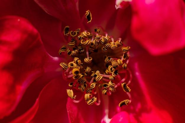 Primo piano delle antere del fiore rosso dove sono visibili i granuli di polline