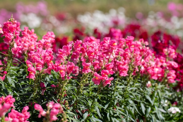 Close up antirrhinum majus l. (snapdragon) flower in gaden