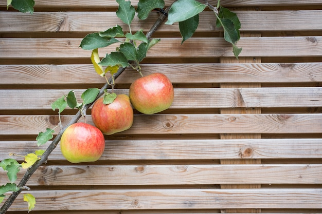 Close up apple tree branch with red tasty apples on a fence background texture