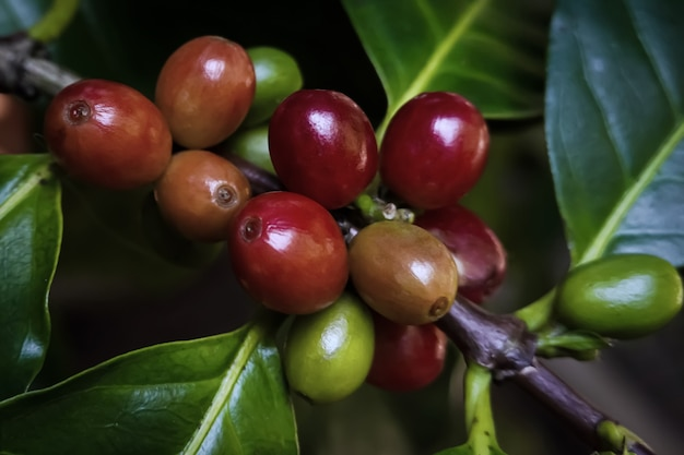 Close-up of arabica coffee beans on the coffee tree