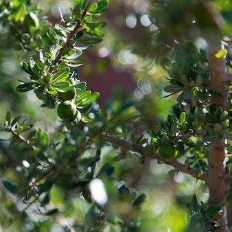 Close-up of argan tree (argania spinosa), atlas mountains, morocco
