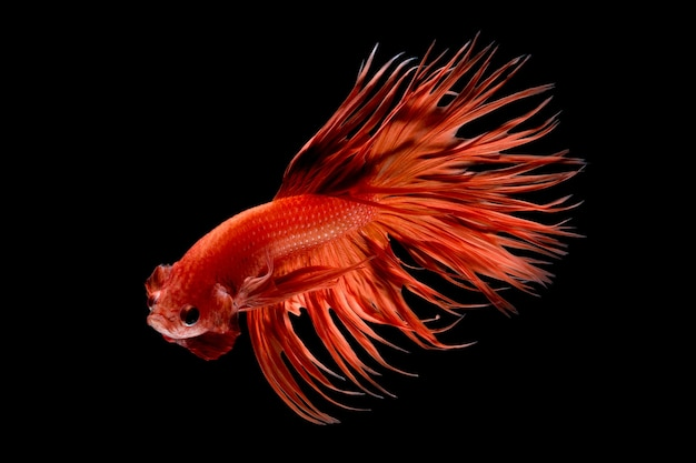 Close up art movement of betta fish,siamese fighting fish isolated on black background.fine art design concept.