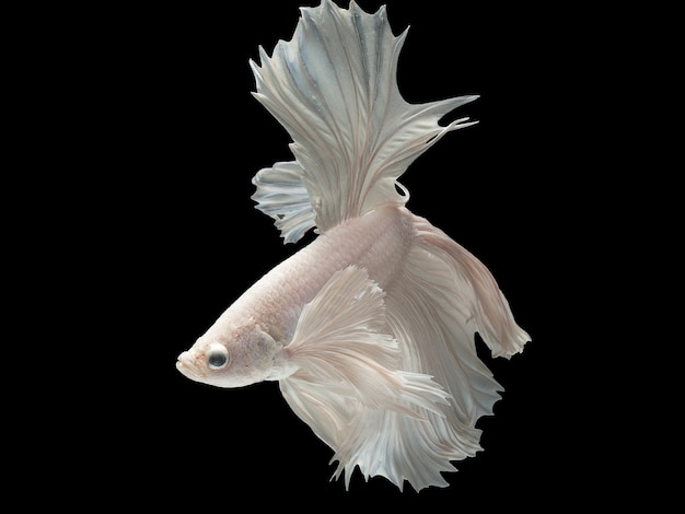 Close up art movement of betta fish, siamese fighting fish isolated on black background.