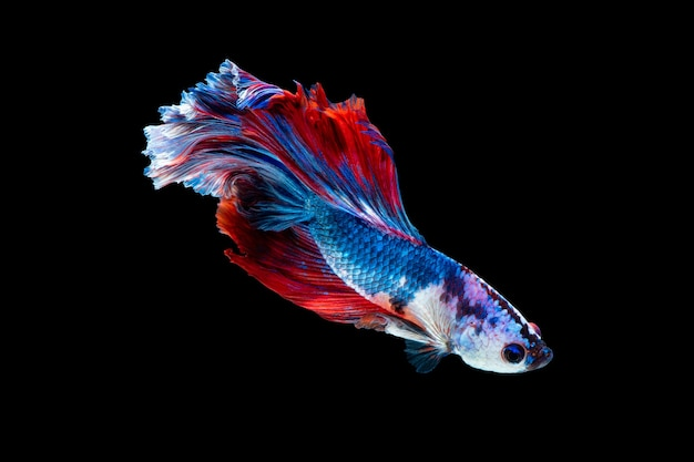 Close up art movement of betta fish or siamese fighting fish isolated on black