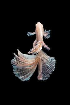 Заделывают художественное движение рыбы бетта или сиамских боевых рыб, изолированных на черном фоне