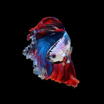 黒で隔離されたベタ魚またはシャムの戦いの魚の芸術運動をクローズアップ