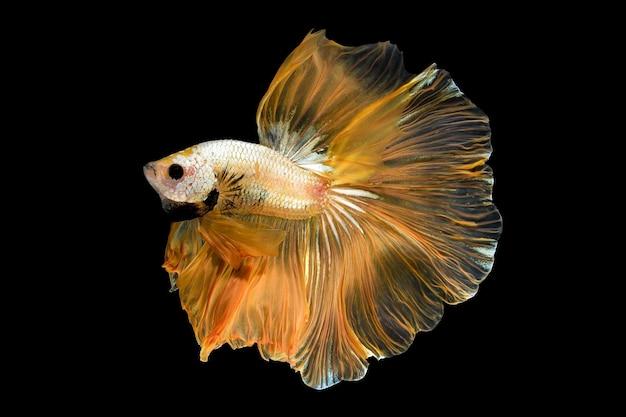 Закройте вверх по художественному движению betta fish, сиамских боевых рыб, изолированных на черном фоне. концепция дизайна изящного искусства.