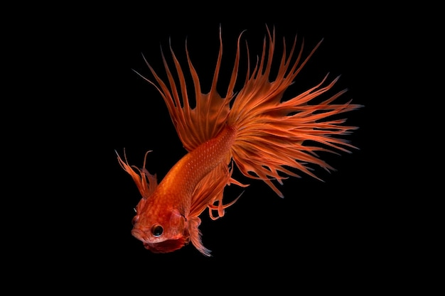 ベタの魚、黒い背景で隔離のシャムの戦いの魚の芸術運動をクローズアップ。ファインアートのデザインコンセプト。