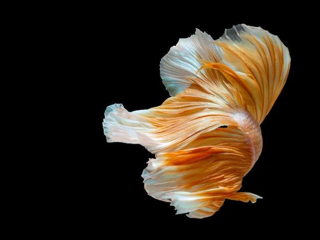 Закройте искусство движения рыбы бетта, сиамской боевой рыбы.