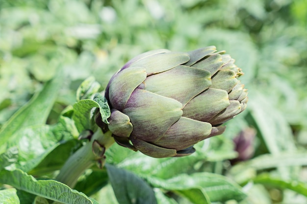 Close-up of artichoke flower bud