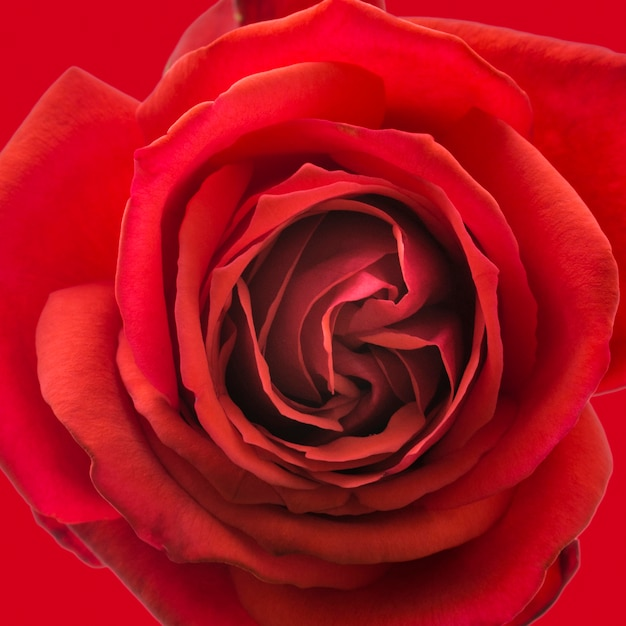 Крупный план художественных лепестков красной розы
