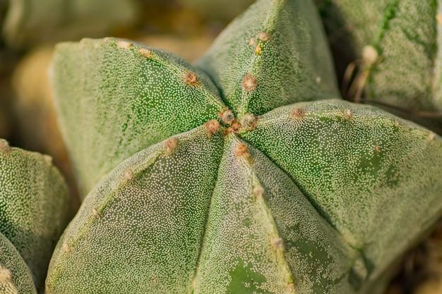 Close up of astrophytum myriostigma cactus. natural background.