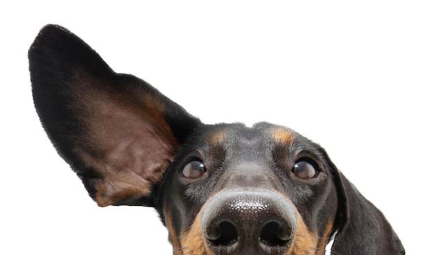 Крупным планом внимательная и слушающая собака такса с одним ухом вверх. изолированный.