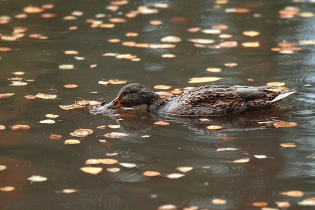 Close up. in the autumn park duck swims in the lake, surrounded by fallen leaves.