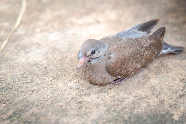 Close up baby dove on the stone ground is still sitting in the tree shade.