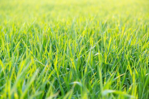バックライト付きの緑の草のローアングルをクローズアップ。毎年の朝の光。